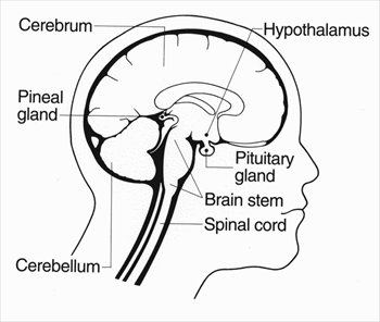 Brain diagram 1 r2 how can i emotionally cleanse myself of grief brain diagram 1 ccuart Gallery